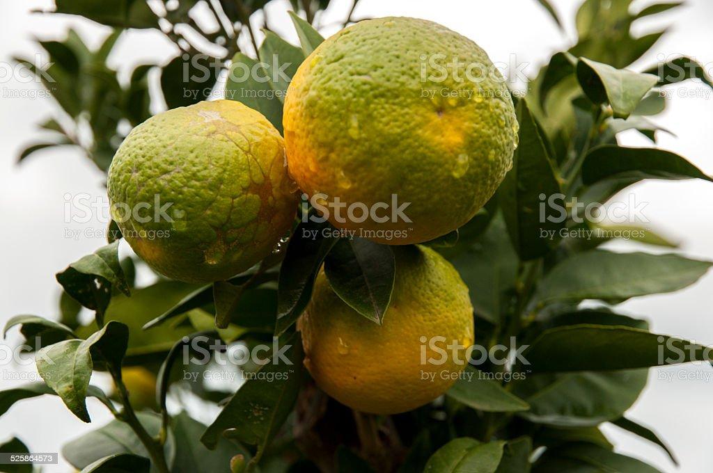 Mandarin stock photo