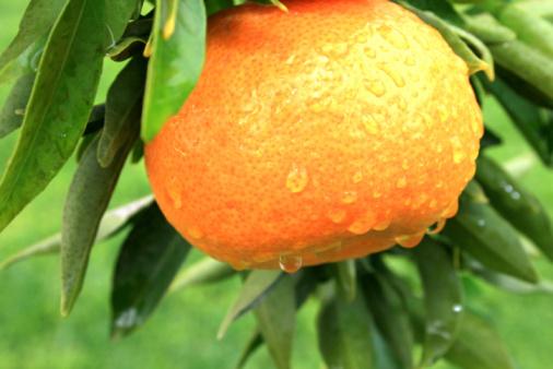 Foto de Mandarin e mais fotos de stock de Agricultura
