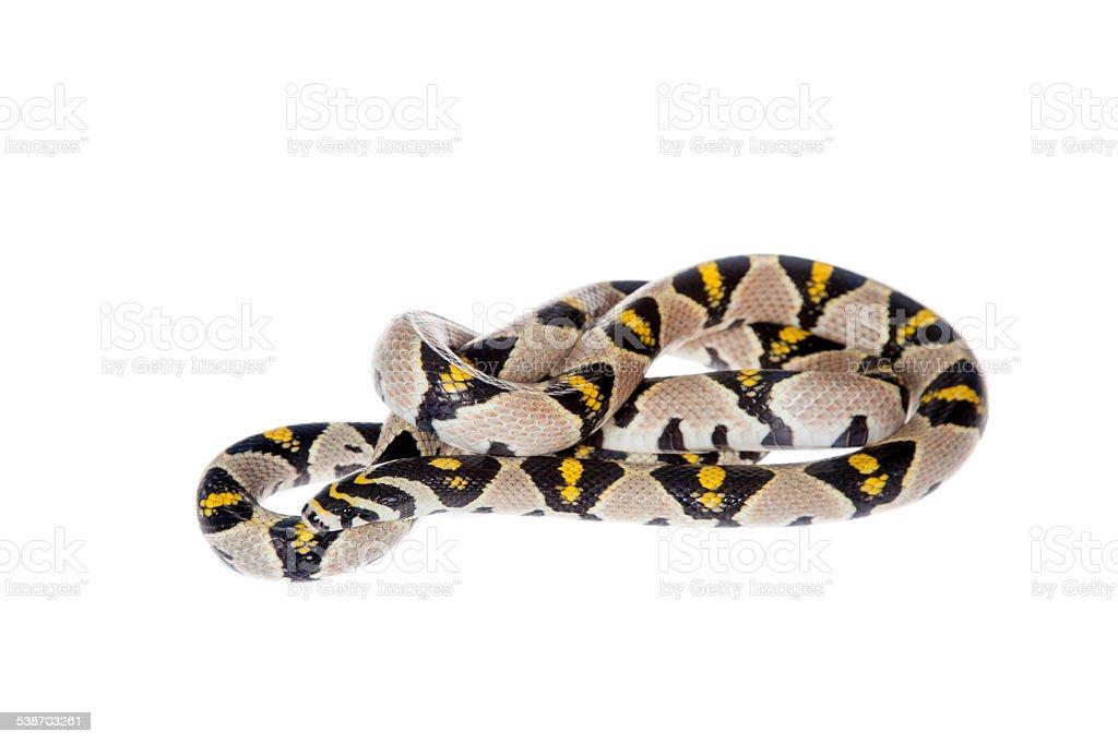 Mandarin Rat Snake isolated on white background. stock photo