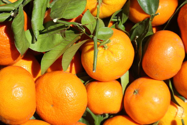 mandarin - tangerine citrus reticulata - pejft stock photos and pictures