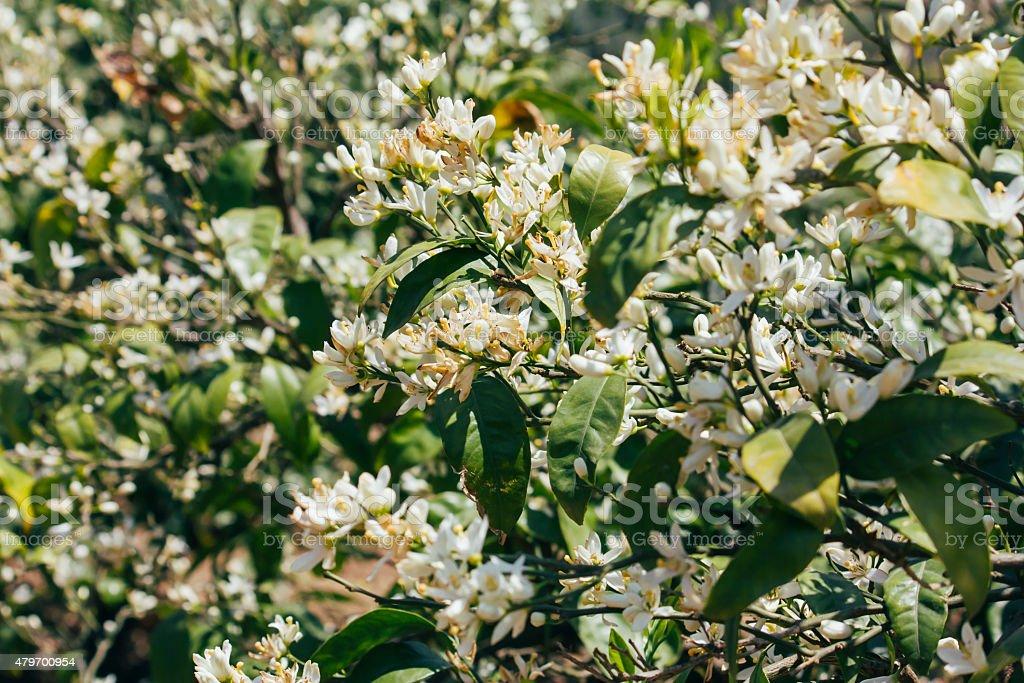 mandarin tree flowers, outdoor photo beauty in nature stock photo