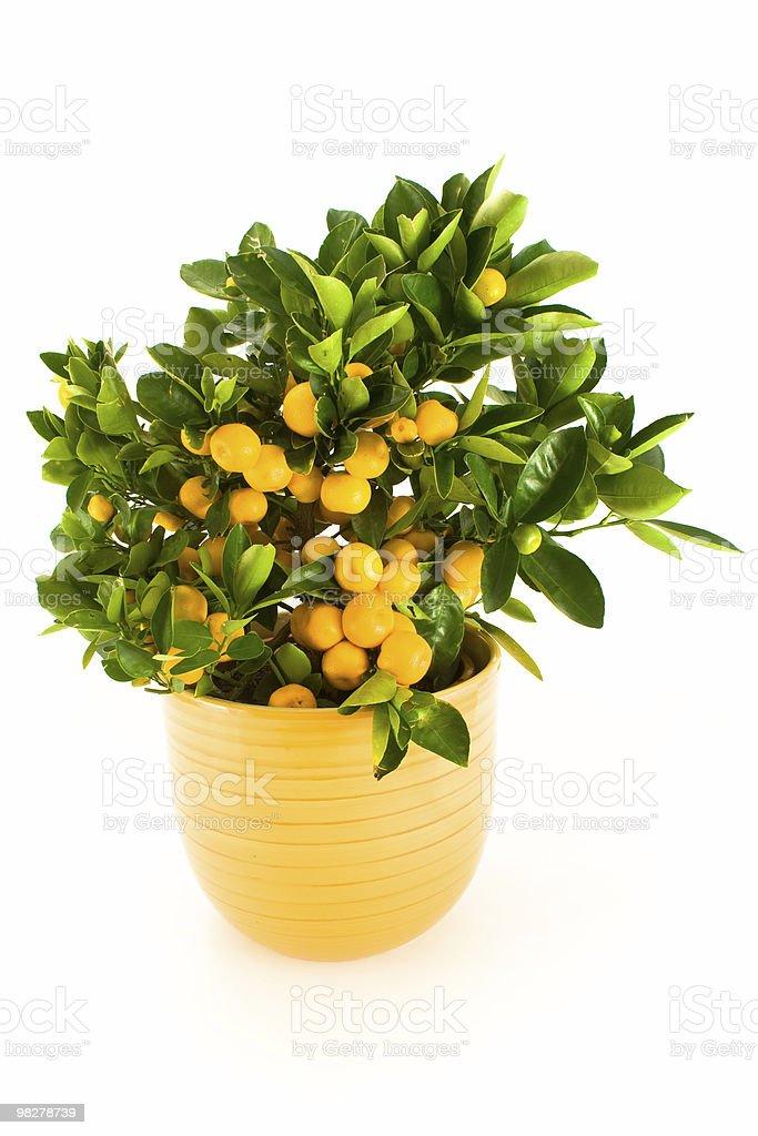 Mandarin tree. royalty-free stock photo