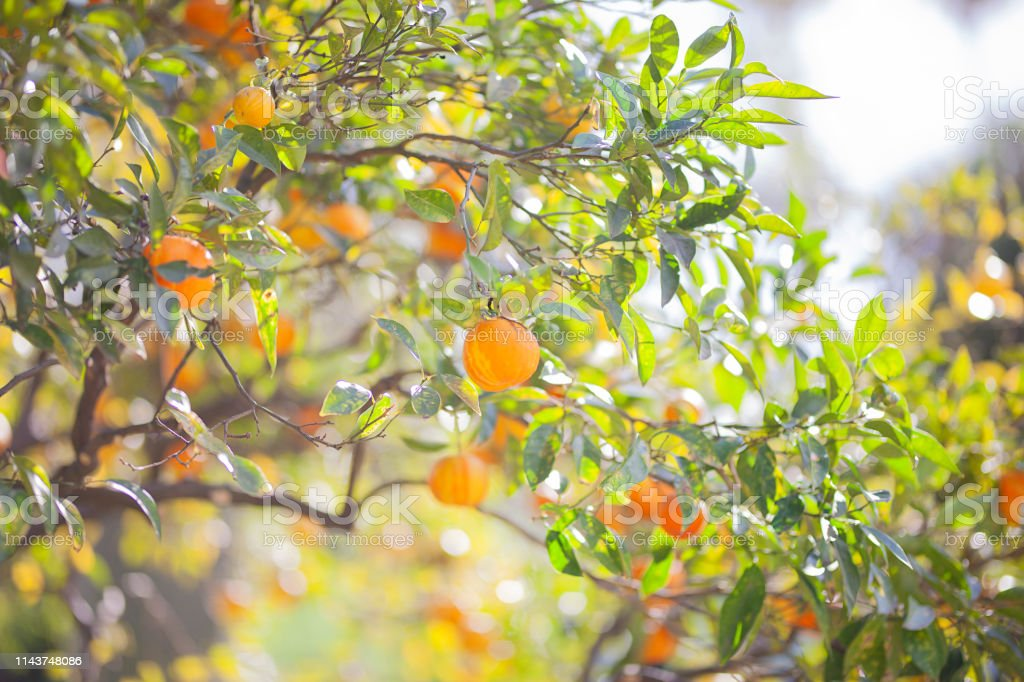 Branch with fresh ripe tangerines and leaves image. The ripe...