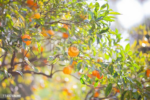 Branch with fresh ripe tangerines and leaves image. The ripe calamondin on the tree with beautiful green leaves in the back. Orange tree with juicy fruits in the garden under sun light.