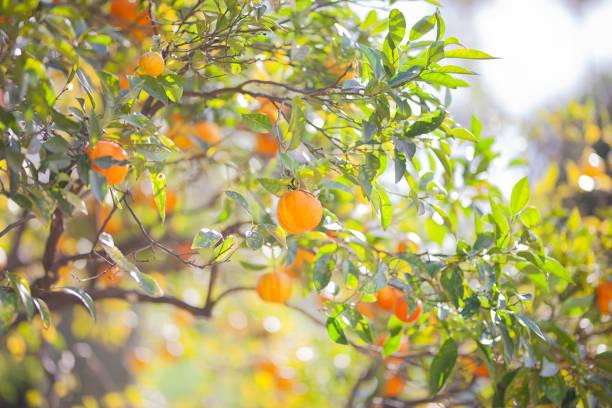 mandarinenbaum mit reifen früchten.  mandarin orangenbaum. zitrusbaum. - wäldchen stock-fotos und bilder