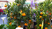 Mandarin trees presented for sale at flower market, fruit plants, gardening