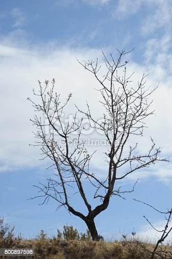 Mandelbaum, Spanien, Mandel, Ast, Blatt