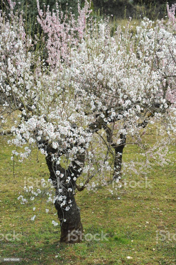 Mandelblüte in Spanien foto stock royalty-free