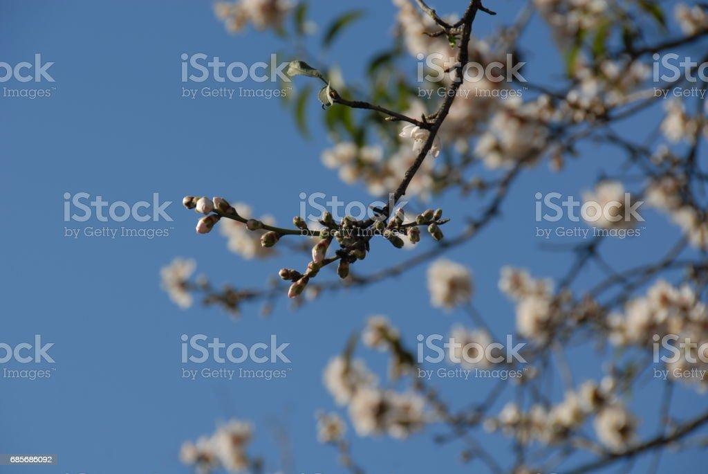 Mandelblüte in Spanien royalty-free 스톡 사진