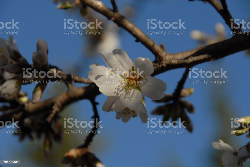 Mandelblüte in Spanien royalty-free stock photo