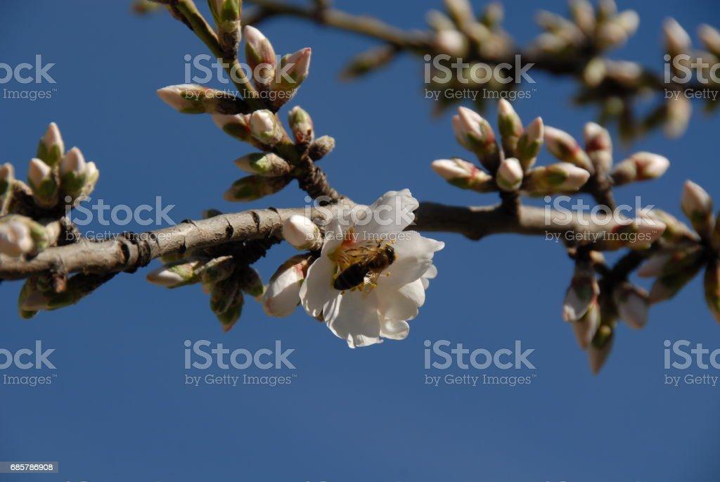 Mandelblüte in Spanien Lizenzfreies stock-foto