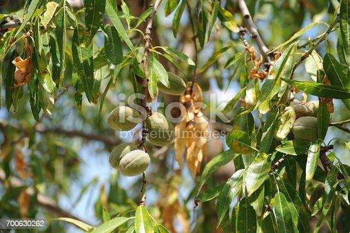 Mandelbaum, Spanien, Mandel, Mandeln