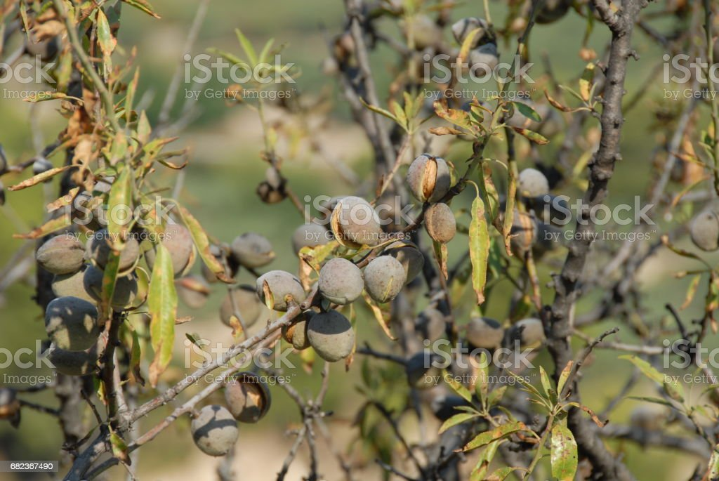 Mandeln an Baum in Spanien royalty-free stock photo