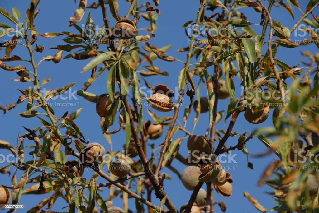 Mandeln an Baum in Spanien foto stock royalty-free