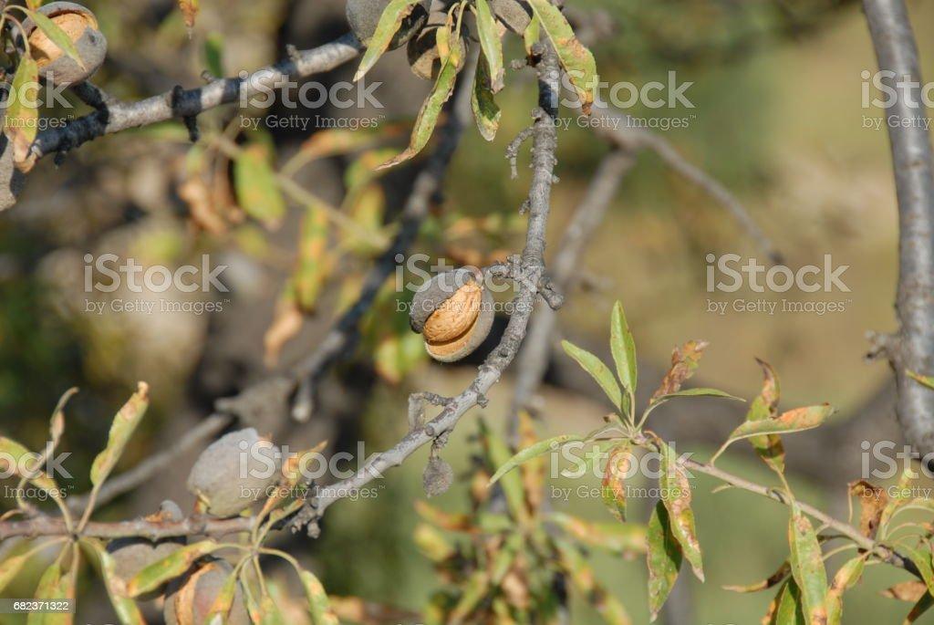 Mandeln an Baum in Spanien photo libre de droits