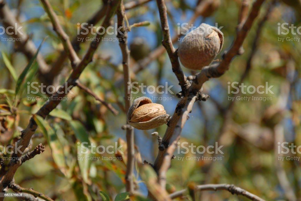 Mandeln an Baum in Spanien royaltyfri bildbanksbilder