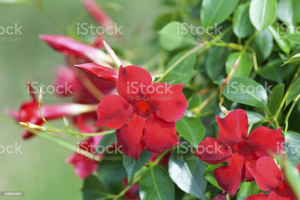 Mandevilla Brazilian Jasmine stock photo