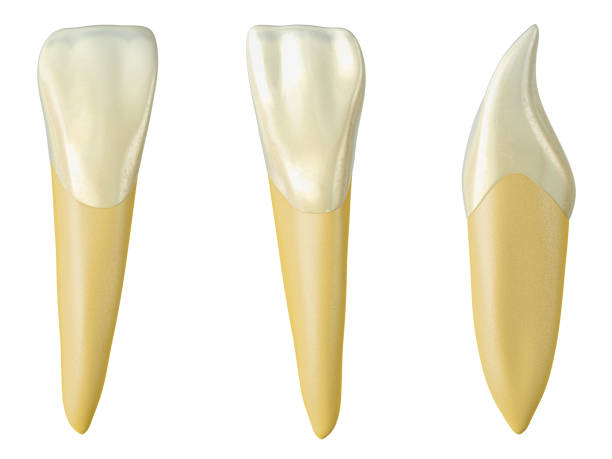 mandibular lateral incisor tooth in the buccal, palatal and lateral views. Realistic 3d illustration of mandibular lateral incisor tooth. mandibular lateral incisor tooth in the buccal, palatal and lateral views. Realistic 3d illustration of mandibular lateral incisor tooth. cusp stock pictures, royalty-free photos & images