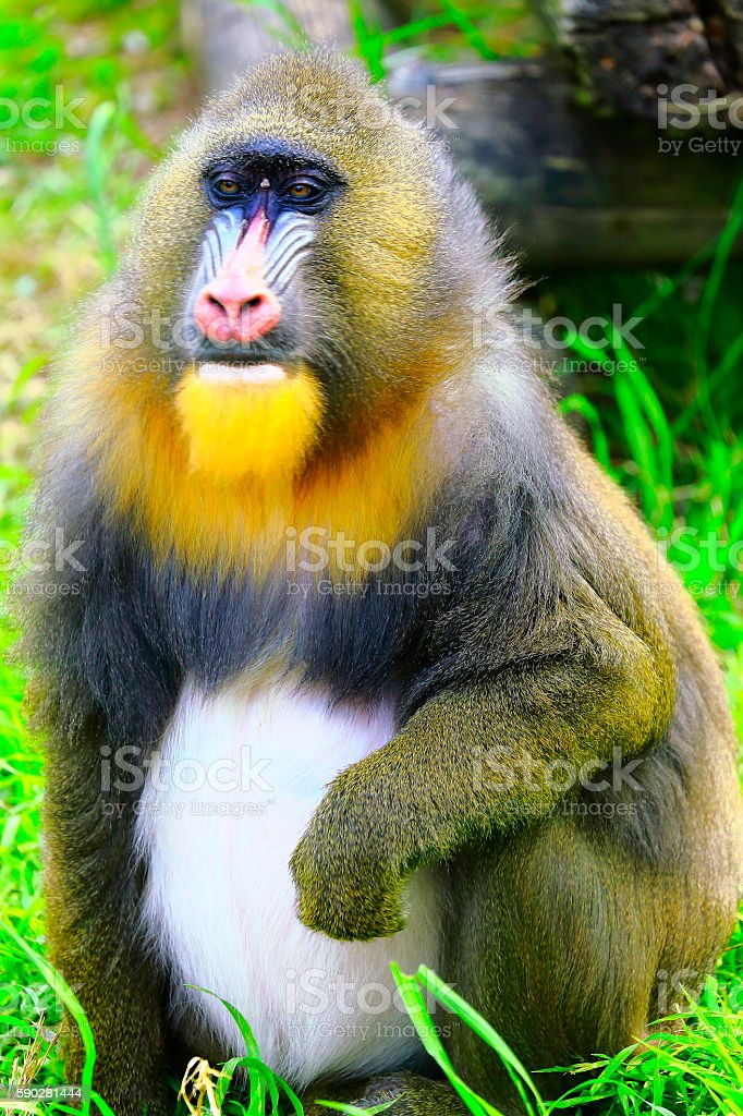 Mandril primate monkey resting, Congo, Africa Equatorial stock photo