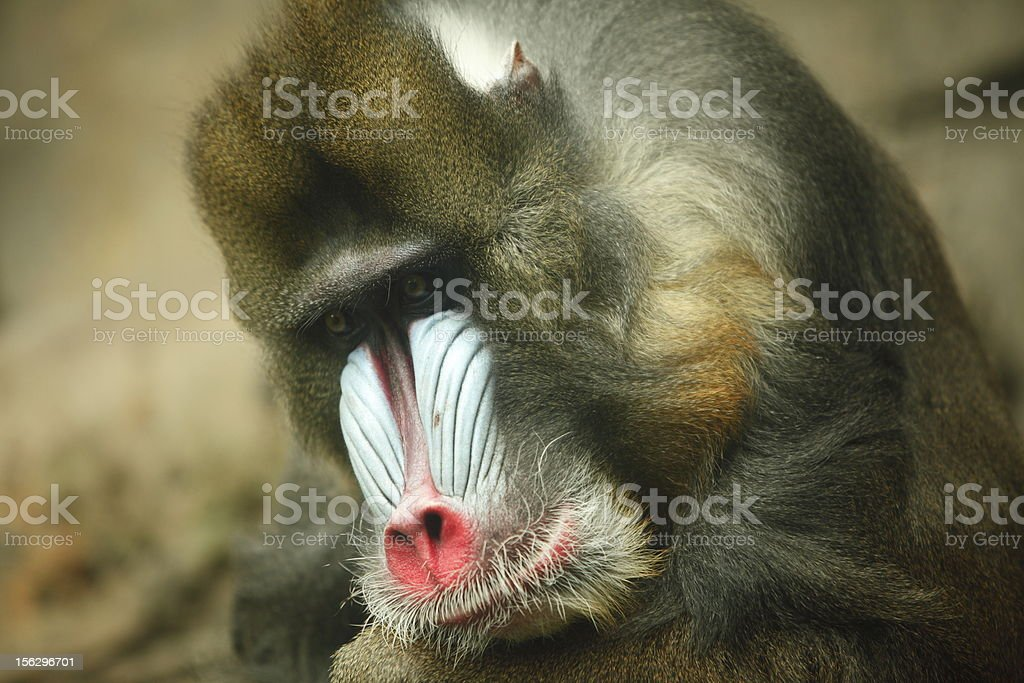Mandrill Close Up royalty-free stock photo