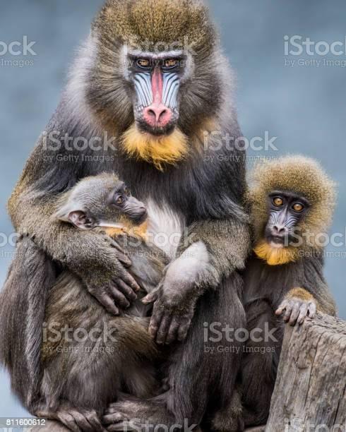 Mandrill family ii picture id811600612?b=1&k=6&m=811600612&s=612x612&h=hqyc5whbujliaeryuciopctlpkbkqws9sbw1 qakbcg=