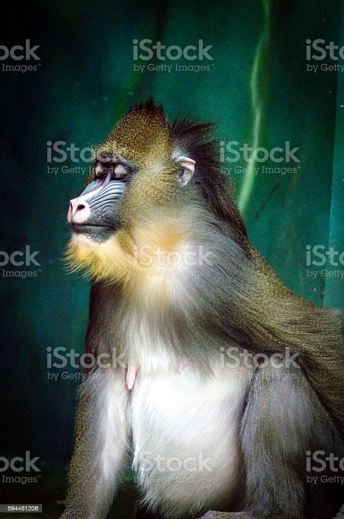 mandrill monkey stock photo