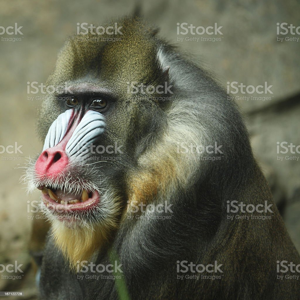 Mandrill stock photo