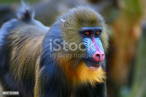Portrait of a young male mandrill (mandrillus sphinx)
