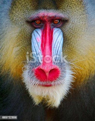 Portrait of a male mandrill (mandrillus sphinx)