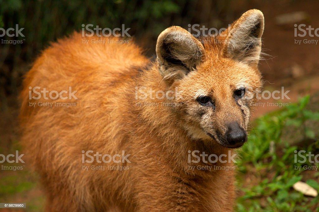 Maned wolf - Chrysocyon brachyurus stock photo