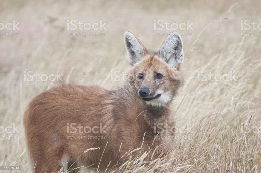 Maned Wolf stock photo
