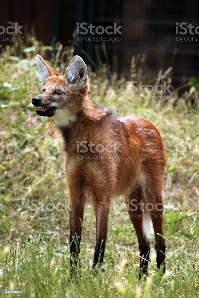 Maned wolf (Chrysocyon brachyurus). stock photo