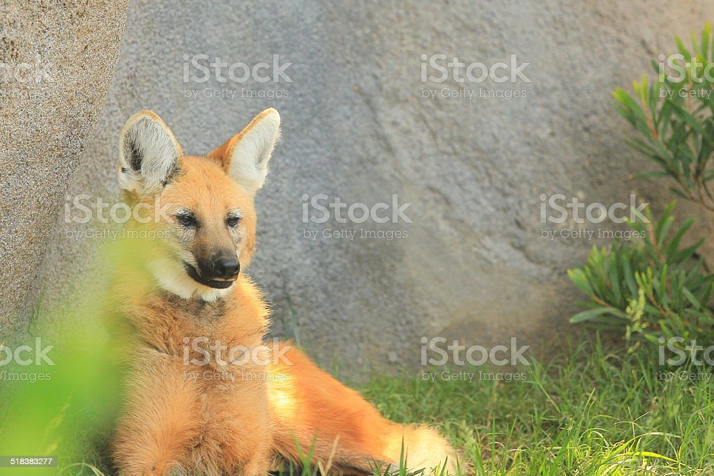 Maned Wolf Sitting stock photo