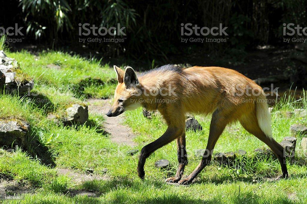 Maned Wolf walking on grass stock photo