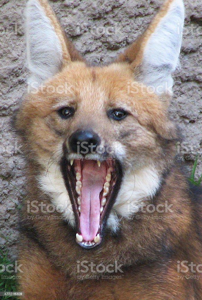 Maned Wolf Yawn stock photo