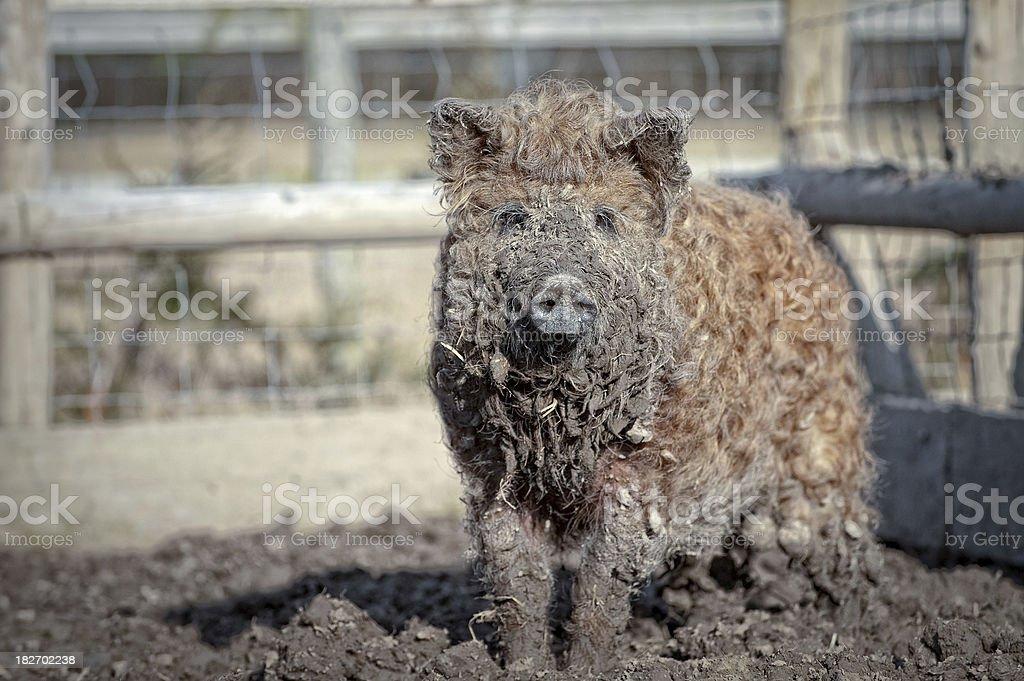mangalitza Schwein – Foto