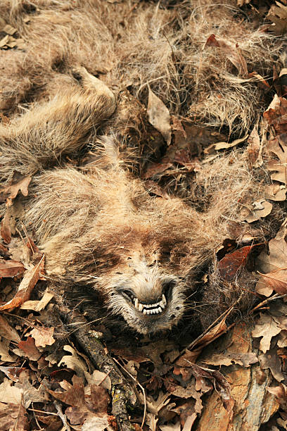 mangled roadkill raccoon stock photo