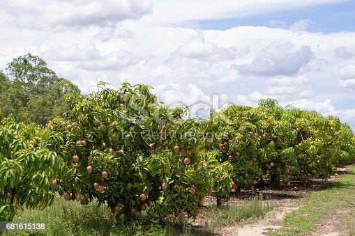 Mango farm near Mareeba on the Atherton Tableland in Tropical North Queensland, Australia