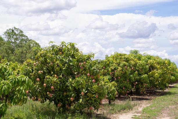 Mango farm near Mareeba stock photo
