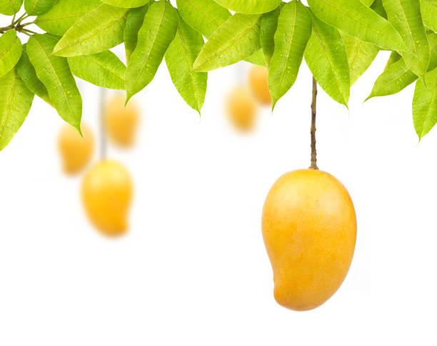 mango de frutas  - mango fotografías e imágenes de stock