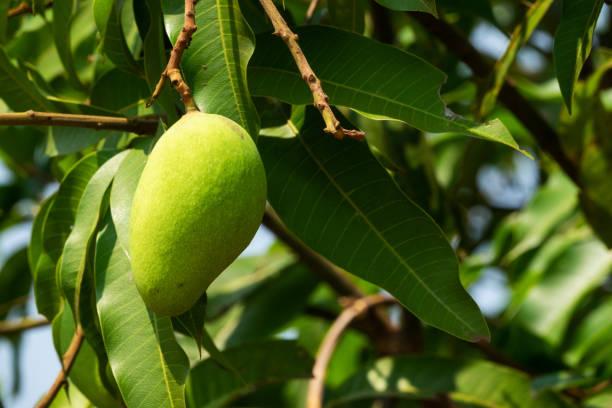 Mango Fruit Tree stock photo