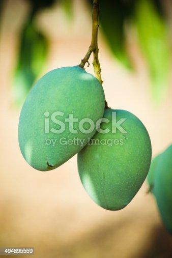 mangoes in tree
