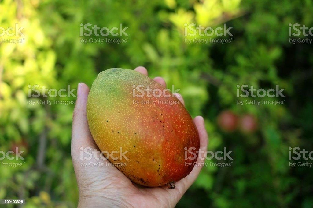 Mango  – Foto