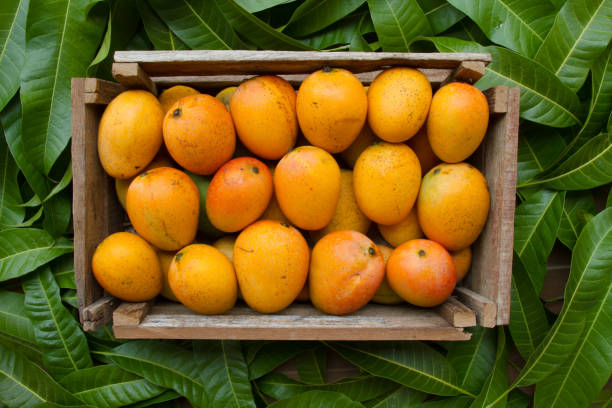Mango product harvest from farm stock photo