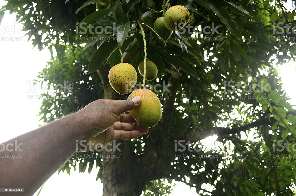 mango season in the caribbean royalty-free stock photo