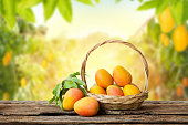 Mango in basket with leaves on wooden table and Mango tree farm with sunlight background.