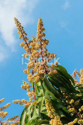 Mango tree in bloom. Close up of the treetop with flowers.