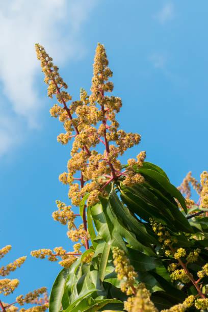 mangobaum in voller blüte - blütenstand stock-fotos und bilder