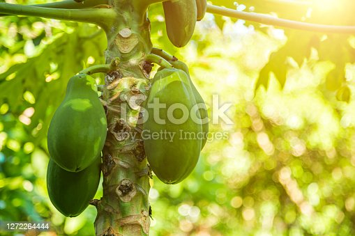 Mangos on a branch. Shallow DOF - focus on mangos. Shot taken with Canon 5d mkIII