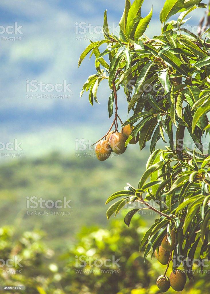 Mango tree. stock photo